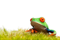 Green frog on moss isolated Royalty Free Stock Photo