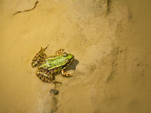 Green frog in mud Stock Images