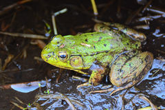 Green frog in muddy swamp Stock Images