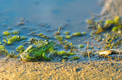 Green frog in natural habitat Stock Image
