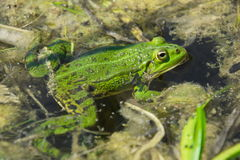 Green frog in nature Royalty Free Stock Photography