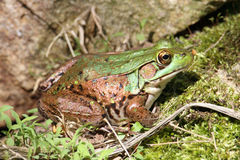Free Green Frog On A Rock Stock Image - 20005181
