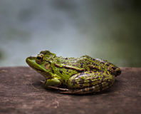 Green frog outdoor. Closeup of a swamp green frog on a wooden board Stock Image