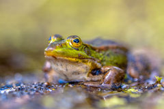 Green Frog Outside Royalty Free Stock Images