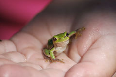 Green frog on the palm Royalty Free Stock Image