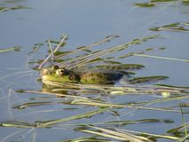Green frog partially submerged in water, on the background of algae royalty free stock image
