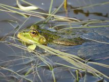 Green frog partially submerged in water, on the background of algae. The green frog is partially submerged in water, against the background of algae. Russia stock images
