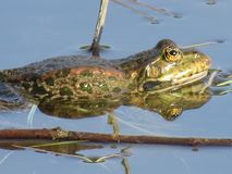 Green frog partially submerged in water, on the background of algae. The green frog is partially submerged in water, against the background of algae. Russia stock photo