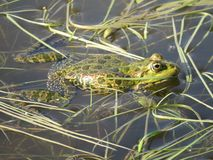 Green frog partially submerged in water, on the background of algae stock images