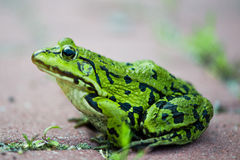 Green frog Pelophylax lessonae Stock Photo