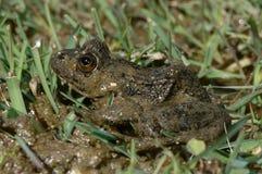 Green frog (Pelophylax perezi) Royalty Free Stock Photo