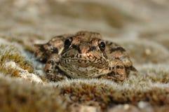 Green frog (Pelophylax perezi). Muddy green frog (Pelophylax perezi) in the grass Stock Photo