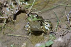 Green frog Pelophylax saharicus in the wild, Morocco Royalty Free Stock Photos