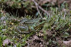 Green frog Pelophylax saharicus in the wild, Morocco Stock Image