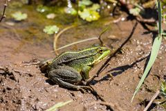 Green frog Pelophylax saharicus in the wild, Morocco Royalty Free Stock Photography