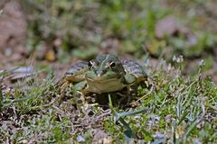 Green frog Pelophylax saharicus in the wild, Morocco Stock Photography
