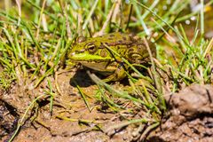Green frog Pelophylax saharicus in the wild, Morocco Stock Images