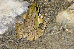 Green frog Pelophylax saharicus in the wild, Morocco Stock Photo