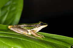 Green Frog Royalty Free Stock Image