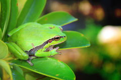 Green frog. On a green plant photography Royalty Free Stock Photos