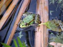 Green frog Stock Photo