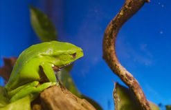 Green frog Stock Image