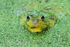 Green Frog In A Pond Royalty Free Stock Photo