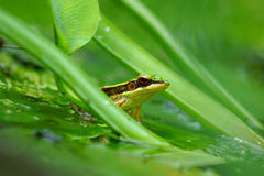 Green frog in a pond. Close up of green frog in a pond Royalty Free Stock Image