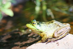 Green frog in the pond Stock Photography