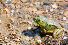 Green frog in the pond Royalty Free Stock Photos