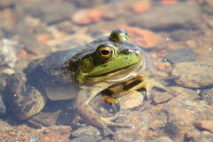 Green frog in the pond Royalty Free Stock Photography