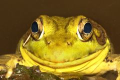 Green Frog In A Pond Royalty Free Stock Images