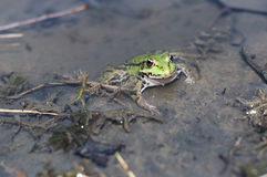 Green frog in pond Stock Images