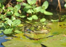 Green frog in pond Stock Photography