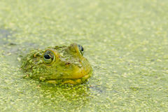 Green Frog in Pond Stock Image
