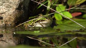 Green frog at the pond edge stock video footage