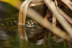 A green frog in the pond Stock Photo