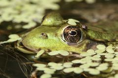 Green Frog In A Pond Stock Image