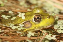 Green Frog In A Pond Royalty Free Stock Photos
