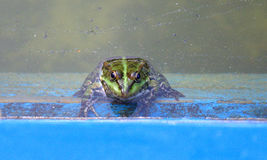 Green frog and tadpoles Stock Photography