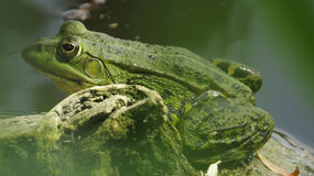Green frog. A green frog in the pond is watching you stock images