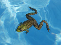 Green Frog in a Pool. A Green Frog (Rana Clamitans) found in a swimming pool just outside Montreal, Quebec, Canada stock photo