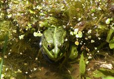 Green frog in the pool. (rana esculenta) - half of the body hidden under the water plants royalty free stock photos
