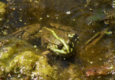Green frog in the pool Stock Photography