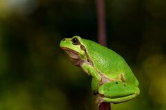 Green frog portrait Stock Image