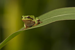 Green frog portrait Stock Photos