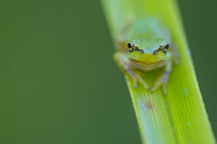 Green frog portrait Royalty Free Stock Photo