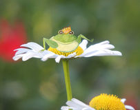A green frog prince with a golden crown  sits on a summer daisy Stock Photography