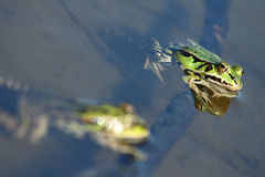Green frog protruding from the water Royalty Free Stock Photography