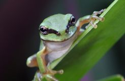 Green frog in rainforest. An Australian Green Tree Frog - juvenile - Litoria caerulea - sitting on a long broad green leaf Stock Photo